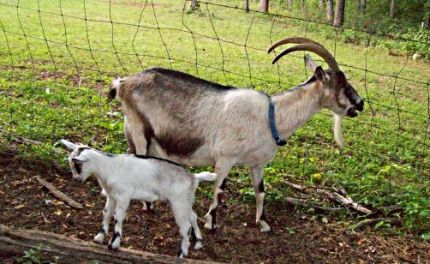 Alpine goats with horns - photo#21