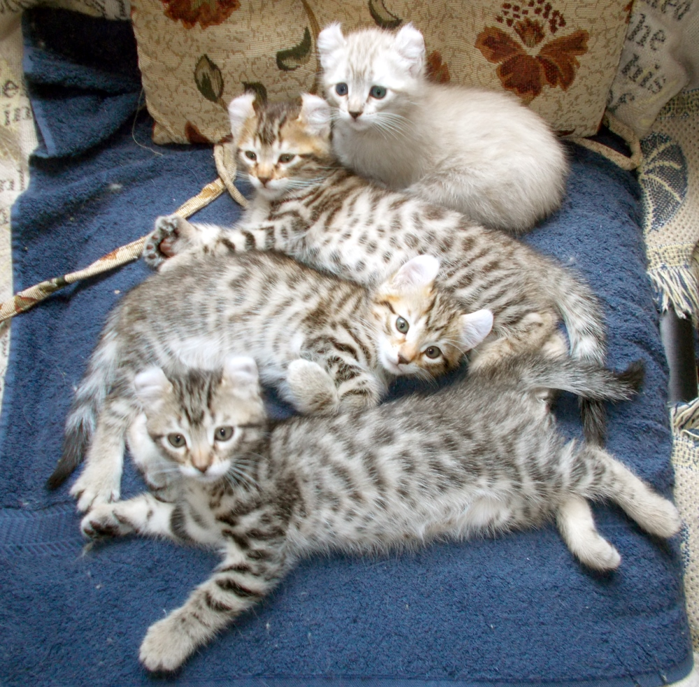 Highlander kittens for sale image