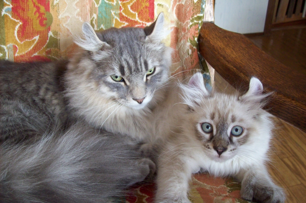 Lynx Cats For Sale Australia