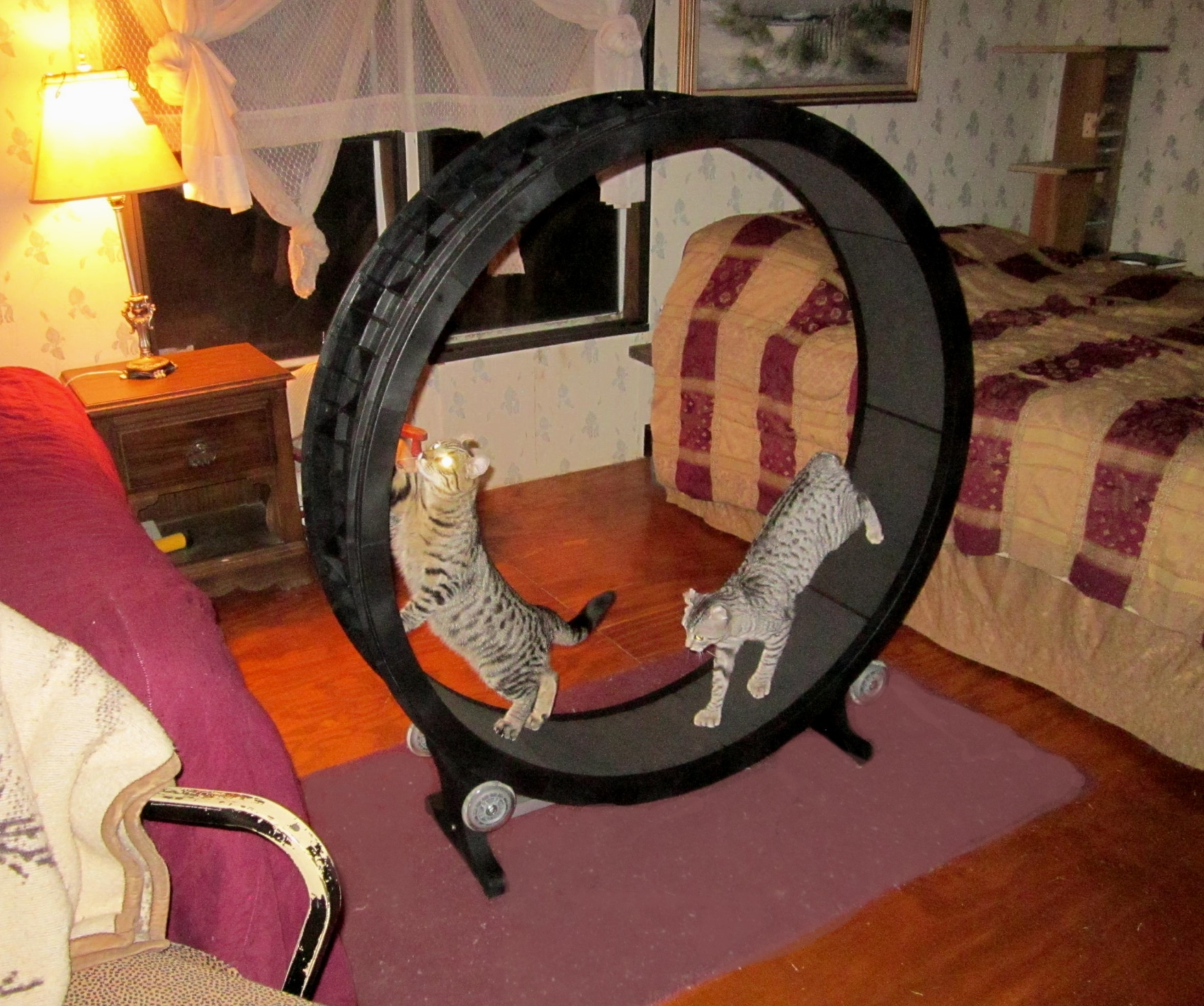 Shepherds Lair Lynx on Cat Wheel