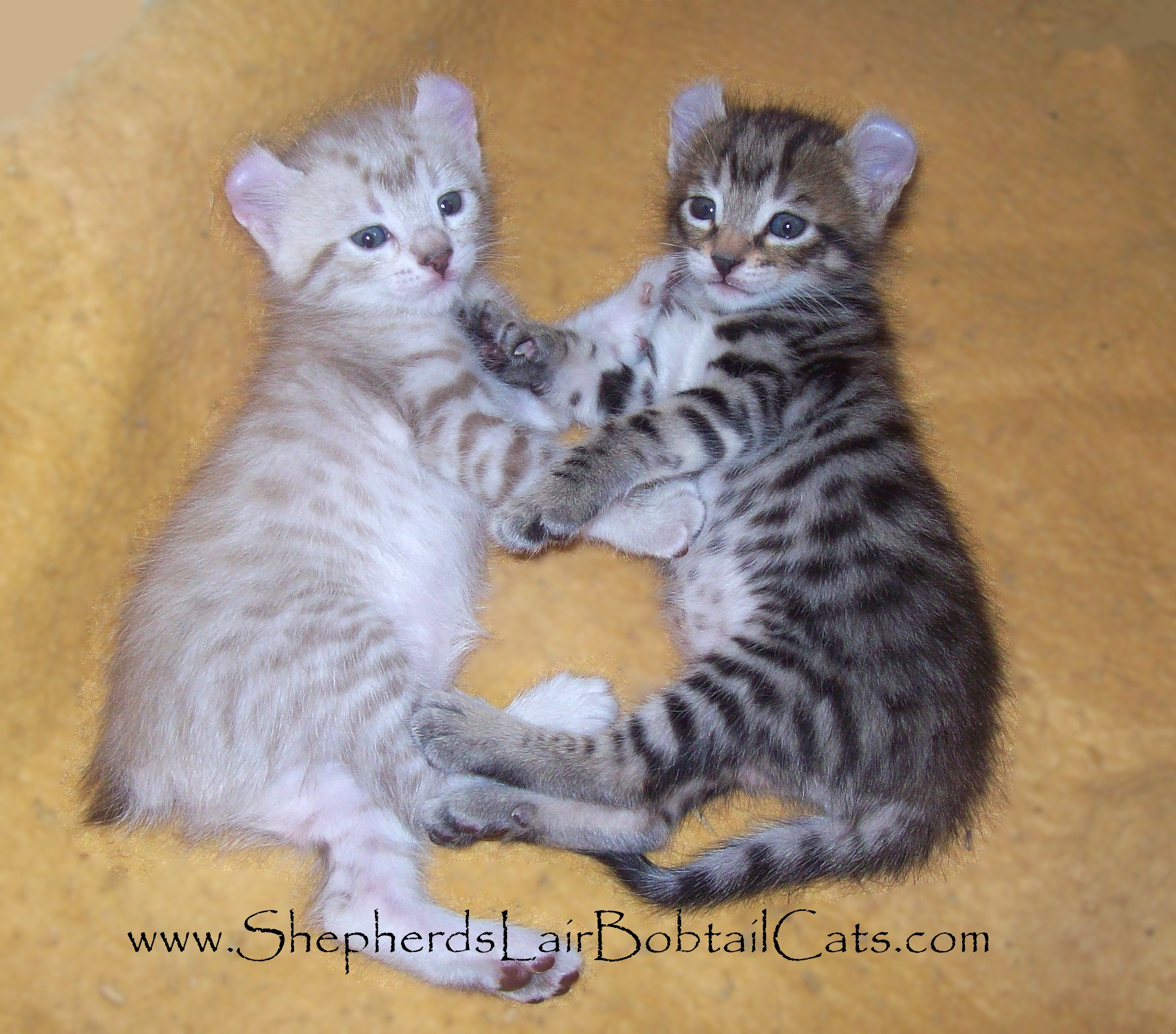 Prices Of Highland Lynx Kittens For Sale