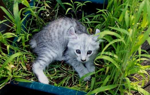 Highland Lynx Information Part 1